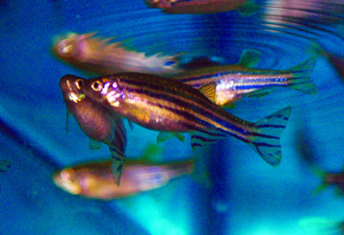 Adult female zebrafish